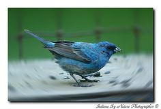 Indigo Bunting by Indiana Ivy Nature Photographer, via Flickr