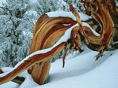 Pino Bristlecone en las Montañas Blancas, California (EE.UU.). Se adaptan para sobrevivir a las duras temperaturas de invierno y verano.