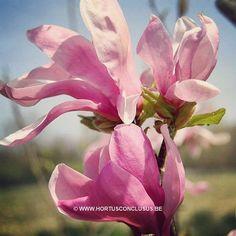 Magnolia 'Lilenny' #gardening #tuinieren #jardinage #gartenarbeit #magnolia #flowers #bloemen #fleurs #blumen #tree #boom #arbre #baum #hortusconclusus #treenursery #boomkwekerij #pépinière #baumschule #uitbergen #berlare #zele #wichelen #schellebelle #lokeren #schoonaarde #dendermonde #laarne #beervelde #kalken #wetteren