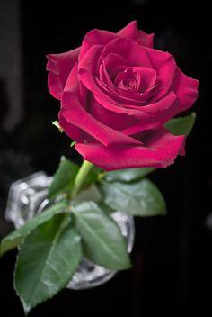 Love Rose Flower, Beautiful Rose Flowers, Wonderful Flowers, Romantic Flowers, Exotic Flowers, Flowers Nature, Love Flowers, Flower Art, Rose Pictures