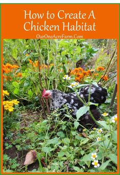 Chicken Habitat -chicken's eat bugs and do your tilling. They need variety of bugs, fresh vegetables and space - and a dog that protects against predators