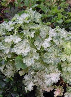 I planted this amidst white & blue annuals, hostas and ferns. Herbaceous Perennials, Shade Perennials, Growing Flowers, Planting Flowers, Beautiful Gardens, Beautiful Flowers, Coral Bells Heuchera, Shade Garden Plants, Moon Garden