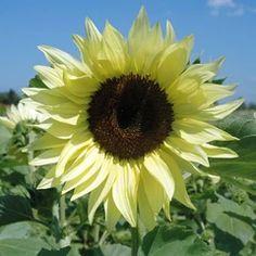 Dwarf Sunflowers, Types Of Sunflowers, Growing Sunflowers, Planting Sunflowers, Sunflowers And Daisies, Happy Flowers, Beautiful Flowers, Sun Flowers, Potted Flowers