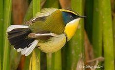 aves de chile - Buscar con Google
