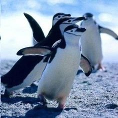 Do the Penguin!