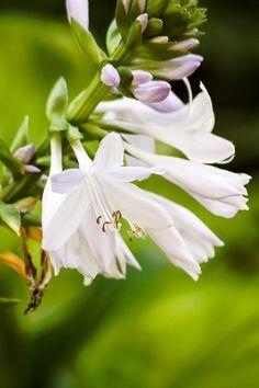 Blooming White Hostas