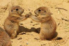 Prairie dog - HenkBentlage/HenkBentlage/Getty Images