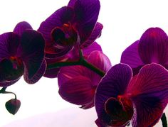Beautiful dark purple orchid