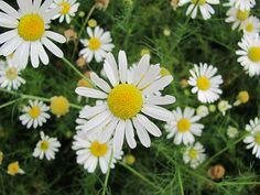 Heřmánkovec nevonný jednoletá, vzácně dvouletá bylina z čeledi hvězdnicovitých (Asteraceae)
