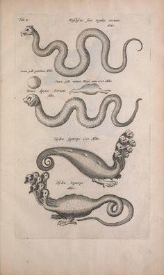 c. 3, pt. 5, 4, 2, 3 [1657] - Historiae naturalis de quadrupedibus libri : - Biodiversity Heritage Library