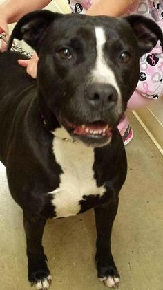 Urgent!!!! Meet Barbie - PLS HELP!!!, a Petfinder adoptable Pit Bull Terrier Dog | Mansfield, OH | Hi there, the staff at the shelter named me Barbie and they named the male I came in with Ken. We...