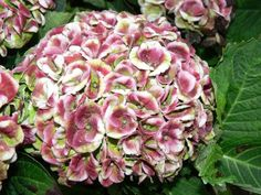 Hydrangea macrophylla 'Magical Revolution' rosa