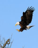 Bald Eagle approaches landing 3058 | Cottonwood Photography