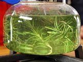 Rozmarýnovo-levandulový repelent proti klíšťatům — Recepty — Kouzelné bylinky —…