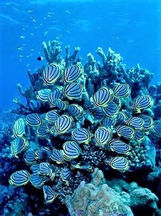 Meyer's Butterflyfish feeding on Acropora coral, Aldabra, Seychelles