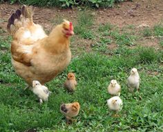 Chickens - pest control, eggs & meat, perfect for the small homestead