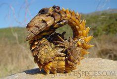 Armadillo-Lizard