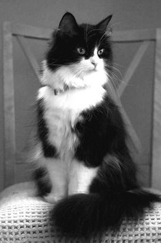 My Norwegian Forest cat Boots is a twin to this beauteous vision of lovliness :)