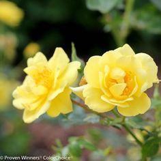Sunny canary yellow flowers do not fade to white it is free lemon zest shrub rose mightylinksfo