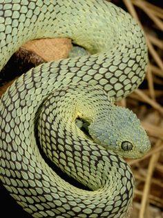 Bush Viper  (Atheris Squamiger) Green Phase