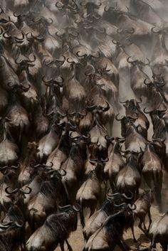 生き物の脅威!!驚くべき動物の大群7選【Nature】 |ミライノシテン