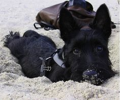 Little Buster at the beach. My scotties love the beach too!