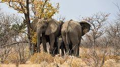 Éléphant, Bébé Éléphant, Jeune Animal