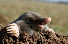 mole for such little, blind critters, they can do a lot of lawn damage Taupe Animal, Especie Animal, Mundo Animal, Photo Animaliere, British Wildlife, Tier Fotos, Garden Pests, Fauna, Rodents
