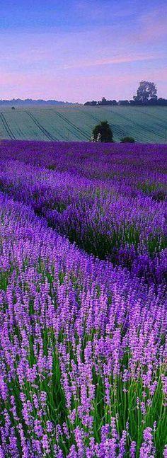 Lavender field in England                                                       … #LavenderFields