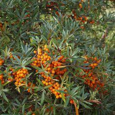 Hippophae rhamnoides L. Strong Wind, Outdoor Plants, Hedges, Shrubs, Garden Landscaping, Coastal, Berries, Sea, Landscape