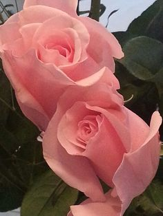 pink roses....