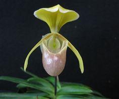 Paphiopedilum helenae