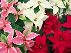 Pink, White and Red Poinsettias at Hamilton Farms in Boonton Twp, NJ
