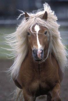 Haflinger Pony - The Austrian Mountain Pony