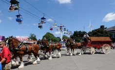 Beginning on August stop by Rock Island Avenue at 2 p. to watch the famous Budweiser Clydesdales Parade. The Clydesdales will be on display south of Gate 10 from 9 a. to 9 p. Amana Colonies, Iowa State Fair, Showing Livestock, Tourism Website, Clydesdale, Horse Art, Bald Eagle, State Parks, Places To See