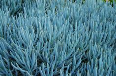 Emerald- The only one not exact! Senecio Chalky Blue Fingers is as good as it gets! from @Hort Couture