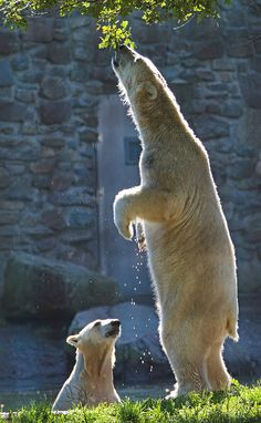 Time for a little smackerel of something. Polar bear at Ouwenhands Zoo, by j.a.kok, via our Flickr group.