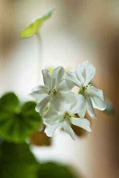https://flic.kr/p/x3Kyoy | 白いゼラニウム | White Geranium