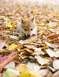 The trees look magnificent with the change of season.. this dog looks lovely into the leaves.