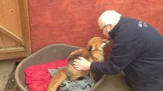 Adorable Red Fox Ecstatically Wags Her Tail While Getting A Really Good Belly Rub