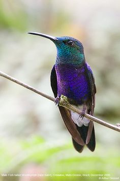 What a beauty! Radiant colours! Male Fork-tailed Woodnymph Hummingbird.
