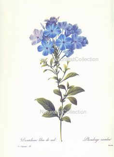 BOTANICAL PRINT 1981 Redoute Art Print 32 by NaturalistCollection, $5.00