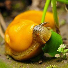 ˚Banana Slug