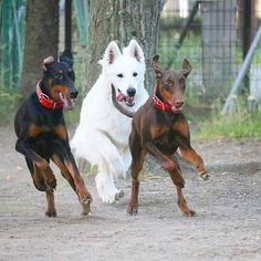 ☀️ . 過去pic📷 このシンクロすごい(笑) . ガウナがヒートなのでランはしばらくお休み❌ 昨日の夜はロングリードで遊びました⭕ ロミーは相変わらずおバカさんしてます😅 . 今日はすでに朝から 『うるせぇ💥💥💥』と3回言いました(笑) . . #ロミガウ #style  #doberman #dobermann #dog #dogs #dogstragram #doglover #doglife #family #baby #fashion #puppydog #happy #good #like4like #f4f #poto  #🐶 #ドーベルマン #大型犬  #愛犬 #大型犬のいる暮らし #ワンコ #パピー #仲良し #犬と暮らす #ドッグラン #忙しい #マタニティライフ