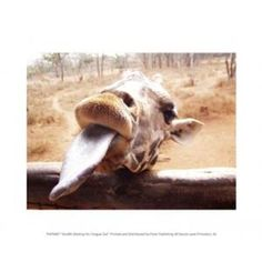 Giraffe Sticking His Tongue Out Poster Print (10 x 8)