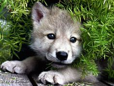 Too cute.  This could be a pic of Killian, my Timber Wolf/Husky, when he was a pup!
