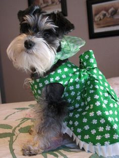 This is a darling little mini schnauzer she is so adorable and her name is Annabelle**