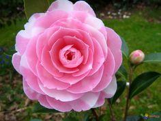 Fleur de camélia EG waterhouse
