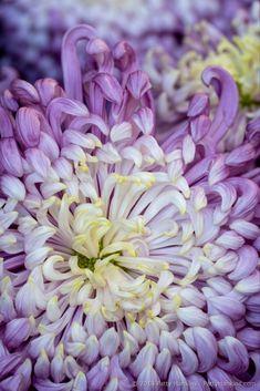 Vienna Waltz Chrysanthemum © 2018 Patty Hankins - My site