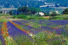 flower fields in Provence